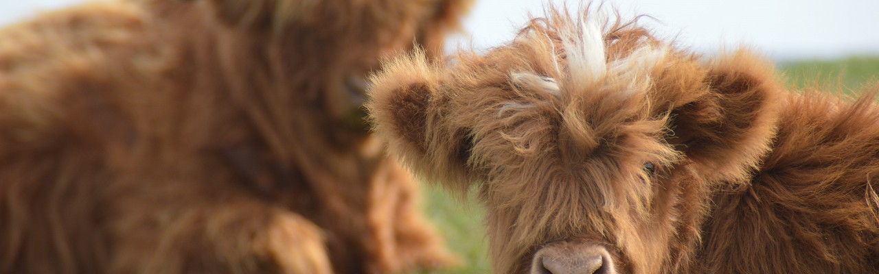 Highland Cattle at Travellers Rest Farm Cottage